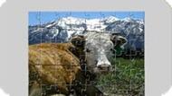 Игра Пазл коровы