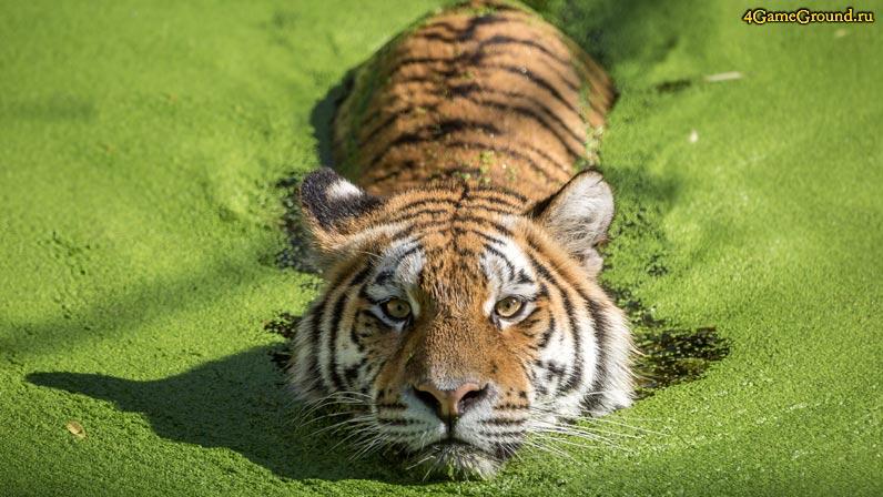Игры Тигры